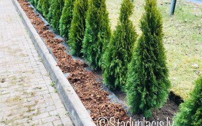Tūjas Smaragd 70-80cm 3.50€/gb.