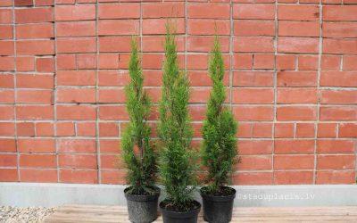 Tūjas Smaragd 70-90cm 3.80€/gb.